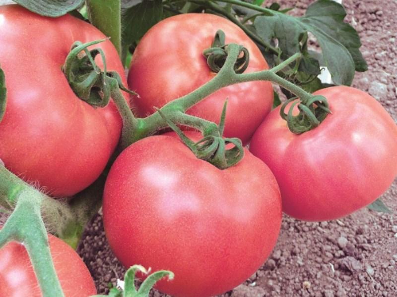 томат малиновое виконте