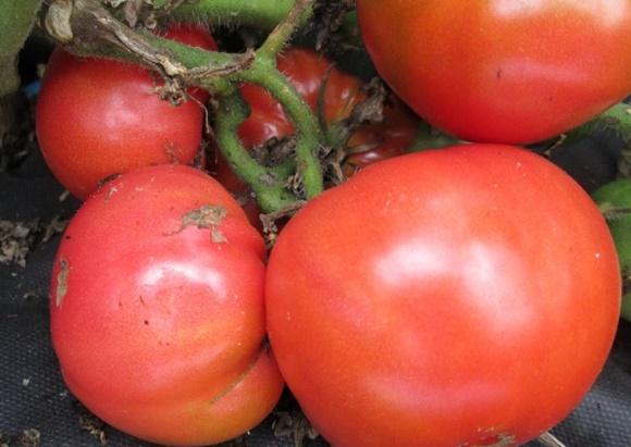 внешний вид томата сахарный бизон