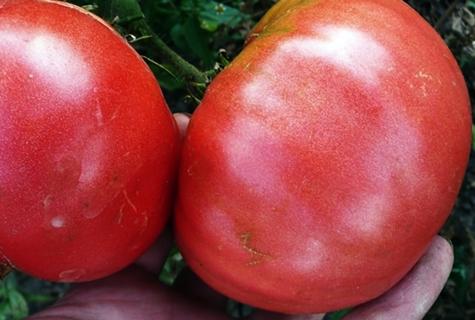 урожай томата Король Гигантов