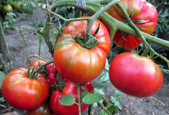 кусты томата Сахарная Настасья