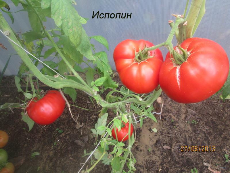 томат сорт исполин