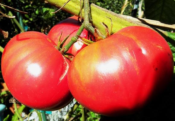 кусты томата гигант красный