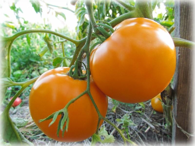 томаты Монастырская Трапеза в открытом грунте