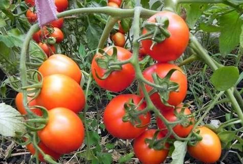 кусты томата петр первый