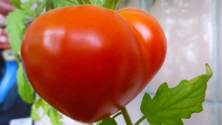 томаты сорта буденовка