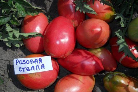томат розовый