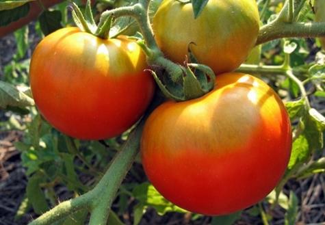 томат Толстый Джек в открытом грунте