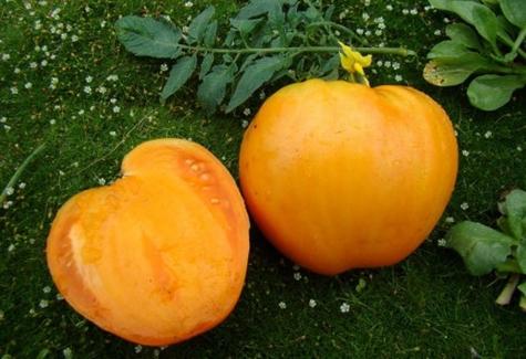 томат Медовый гигант в огороде