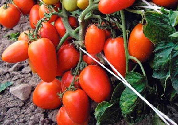 томат новичок на огороде