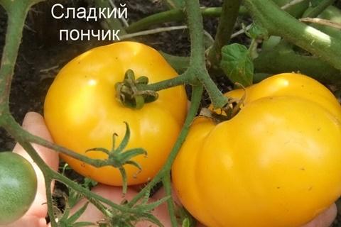 кусты томата Сладкий пончик