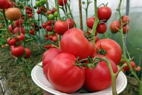 кусты томата Малиновый закат