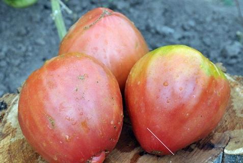 сорт томата африканская лиана