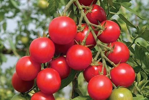 кусты томата Шалун в открытом грунте