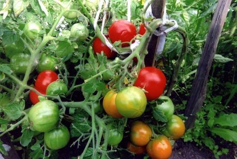 томаты Московский скороспелый в открытом грунте
