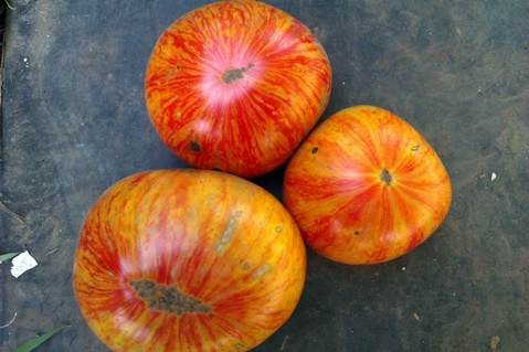 томат Король красоты на столе