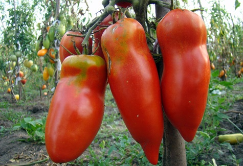 томат Алый мустанг в открытом грунте