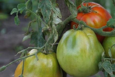 томат раджа фото отзывы