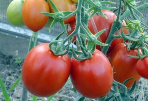 томат маруся в открытом грунте