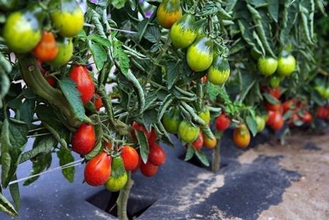 томаты грушевидной формы