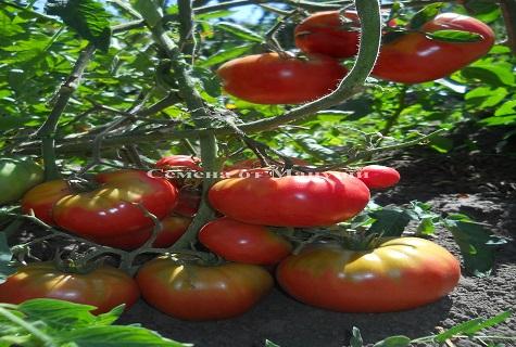 томат на земле