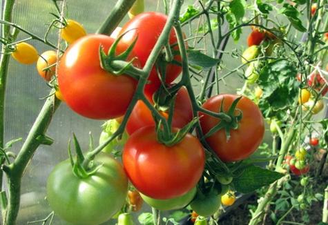томат пинк гел в теплице