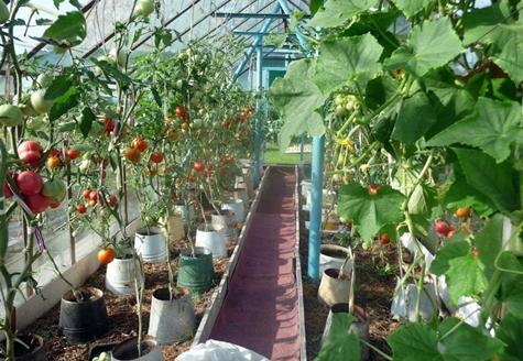 томаты в ведрах в теплице