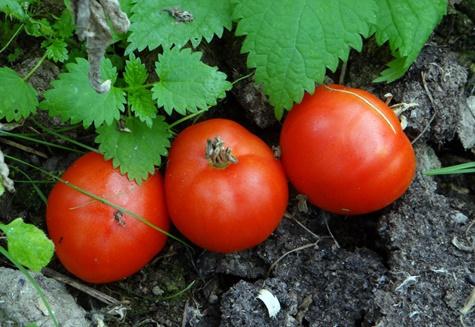 внешний вид томатов грунтовый грибовский