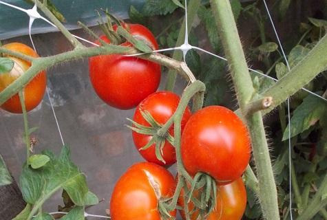 томат дворцовый