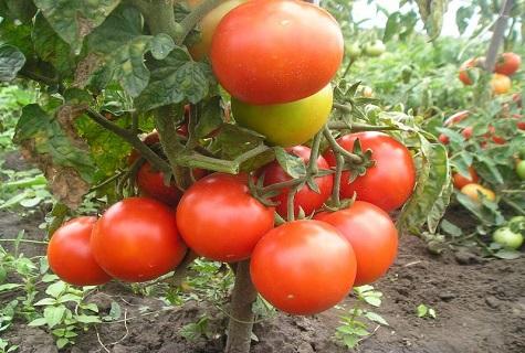 помидоры в центре