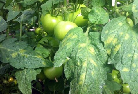 кладоспориоз томата в огороде