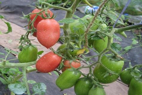 церковный томат