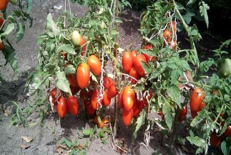 селективный томат