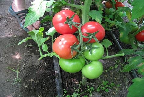 зеленый куст томата