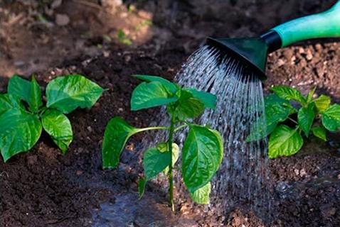 полив перца в огороде