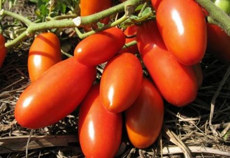 кусты томата гулливер