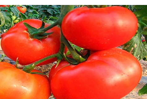 Засажу по самые помидоры