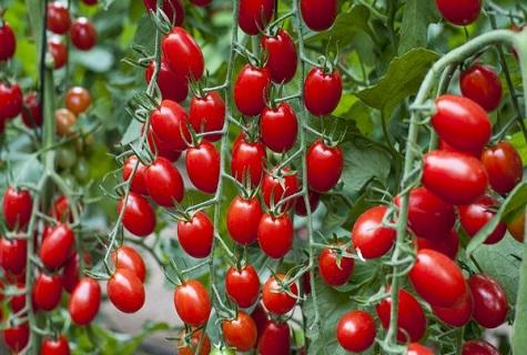 ягоды томата