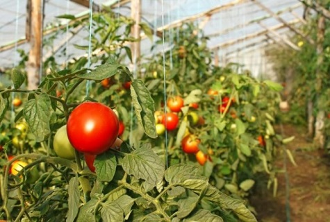 подвесные томаты