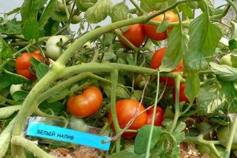 кусты томата Белый налив
