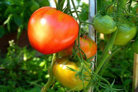 окрас помидора