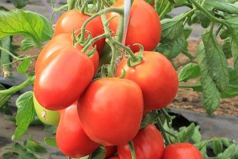 выращивание томата детская сладость