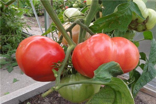 завязи помидоров