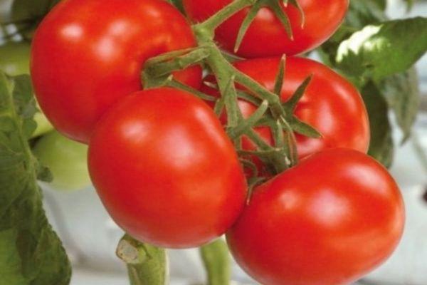 томат поливы