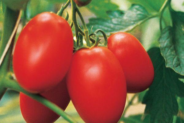 плоды томата яки