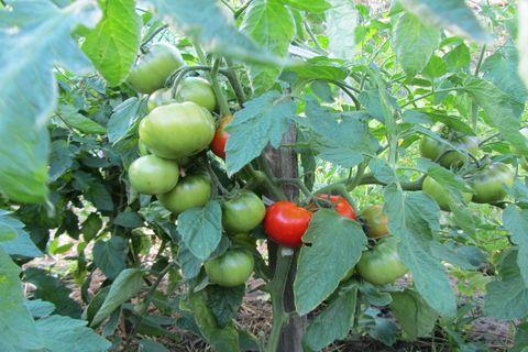 томаты жонглер