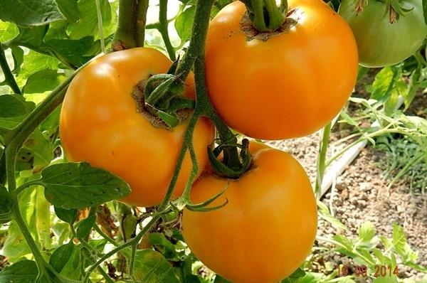 томат янтарный в огороде