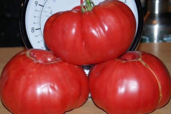 томат сахарный пудовичок выращивание