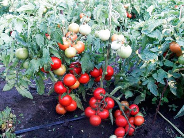томат суперприз в открытом грунте