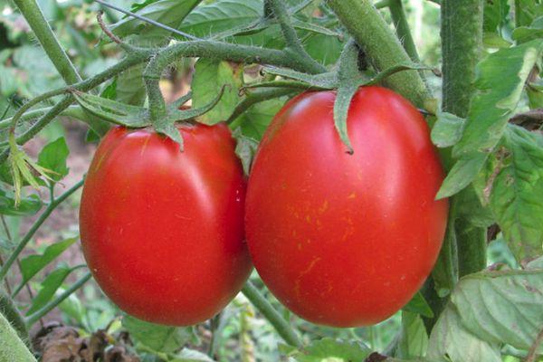 Крупные томаты
