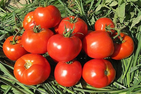 томат в траве